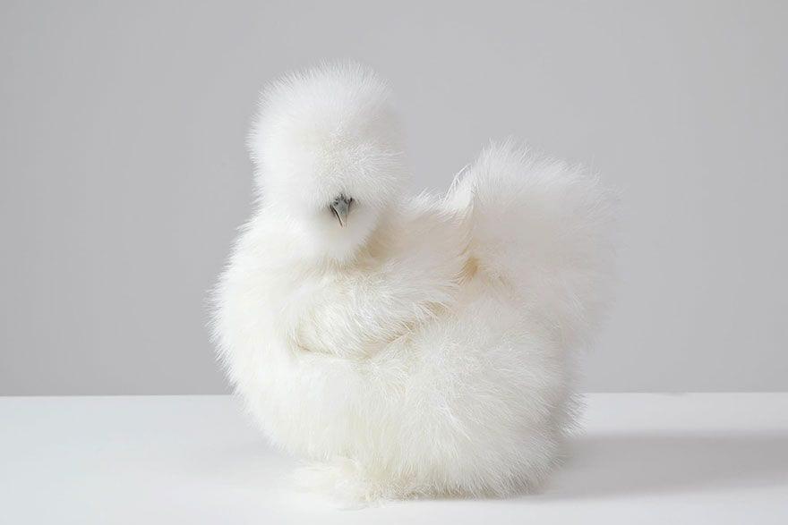 chihuahua-pollo-07