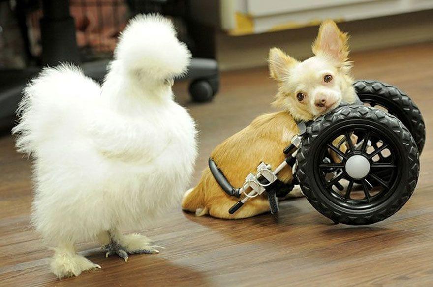 chihuahua-pollo-10