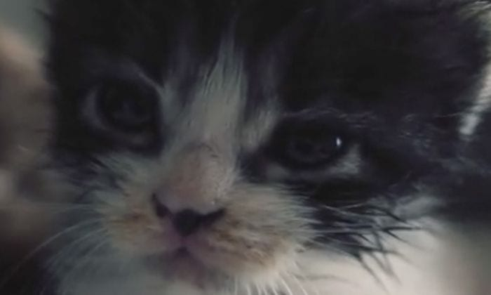 gato caniche