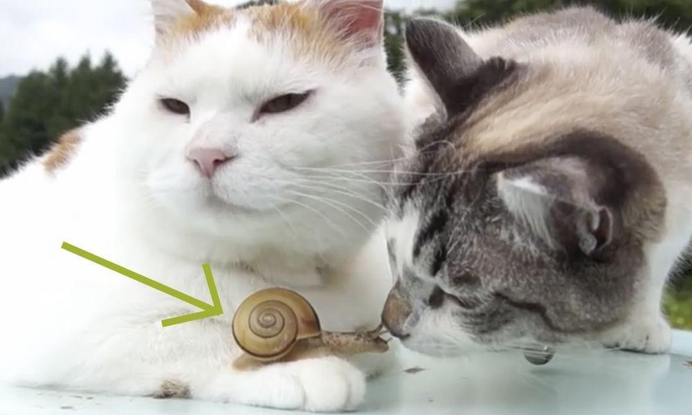 gatos caracol