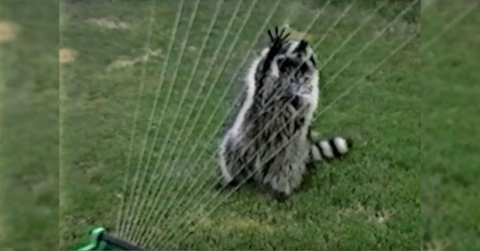 mapache arpa