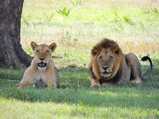 leones 1