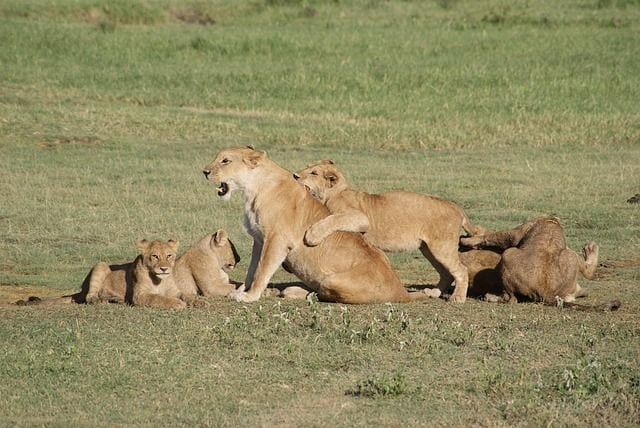 leones-2
