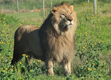 leones_10