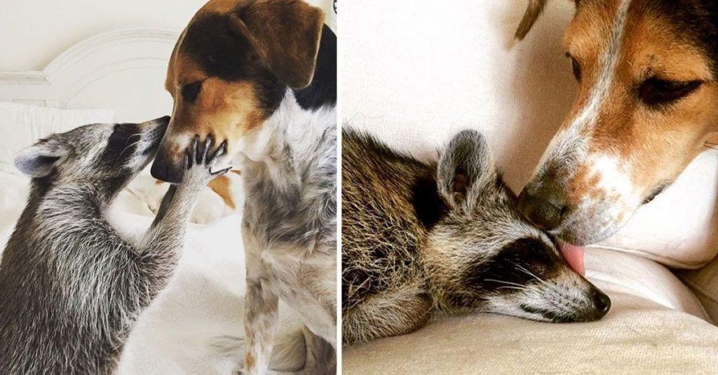mapache adoptado