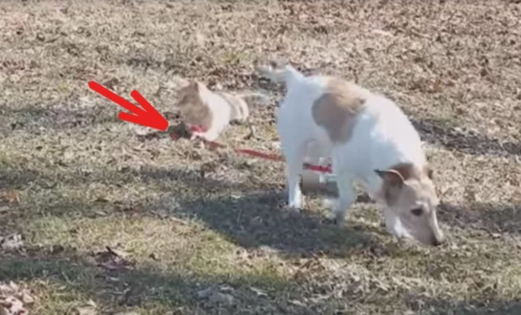 gato correa perro destacada