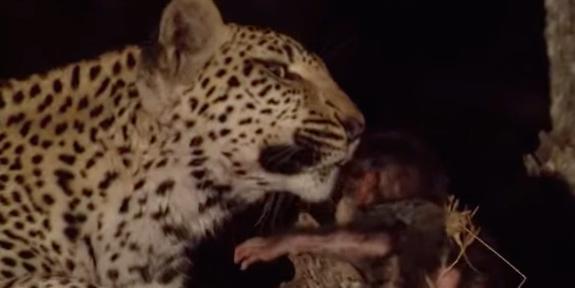 leopardo-babuino-01