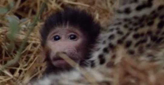 leopardo-babuino-02
