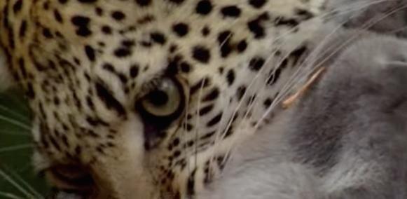leopardo-babuino-03