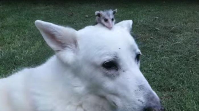 perro adopta zarigueya