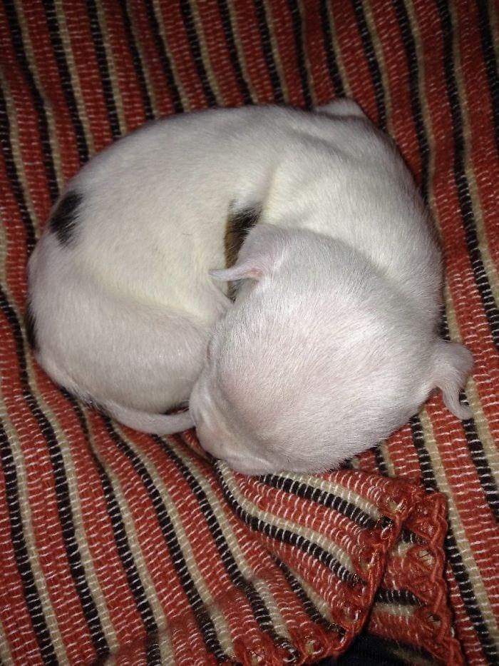 cachorro-pitbull-rescatado-12