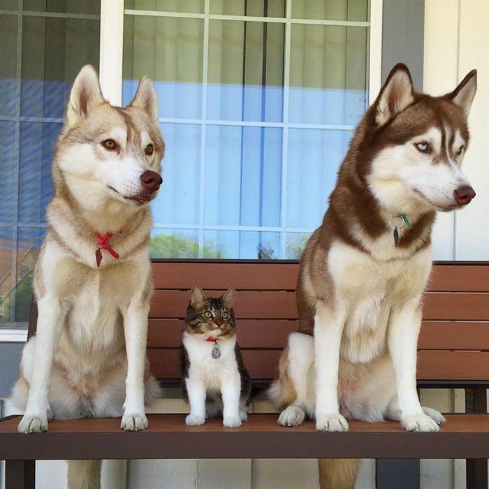 husky-adopta-gato-10