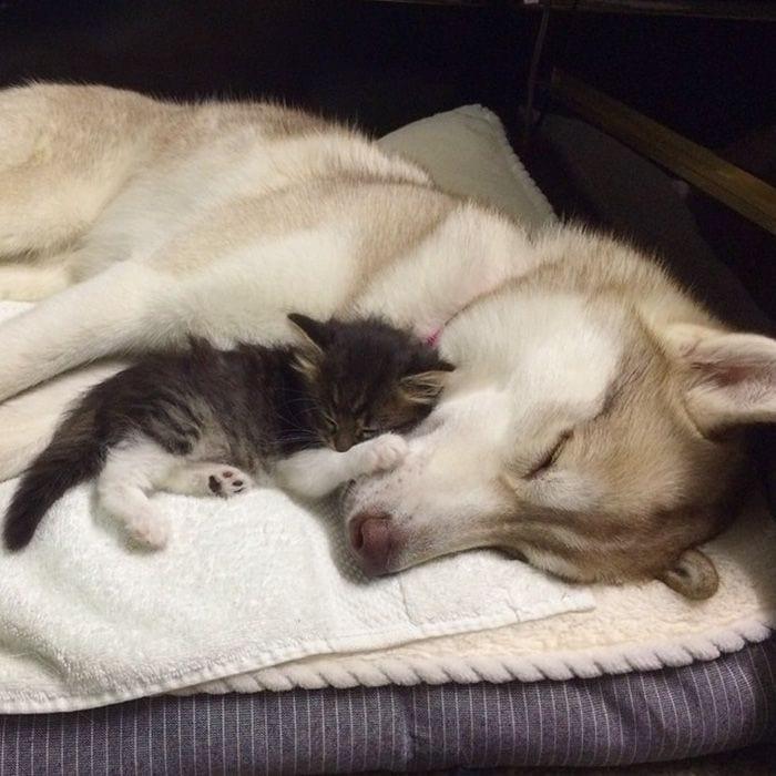 husky-adopta-gato-15