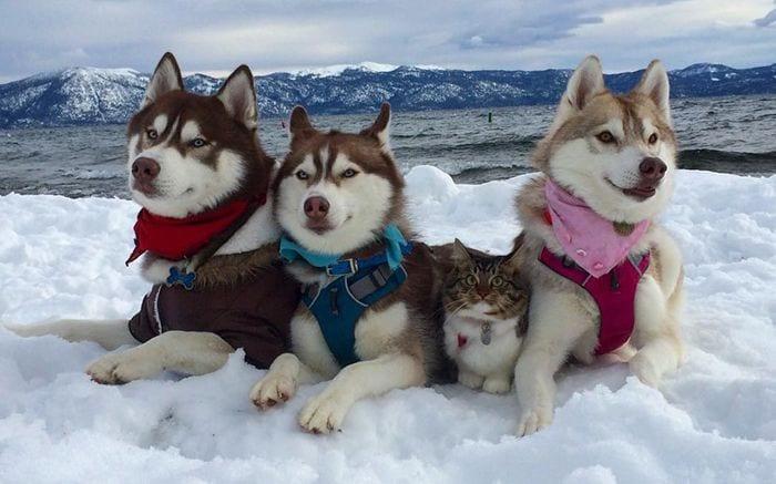 husky adopta gato destacada