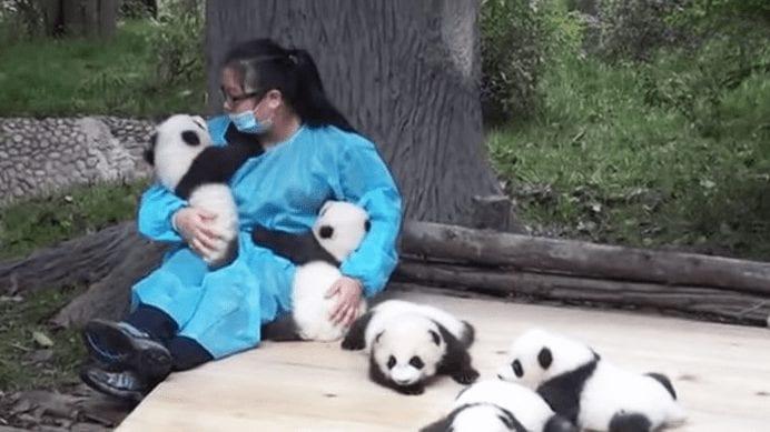 osos panda bebes