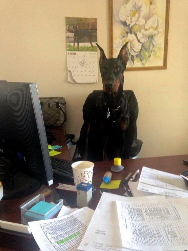 perros-en-la-oficina7