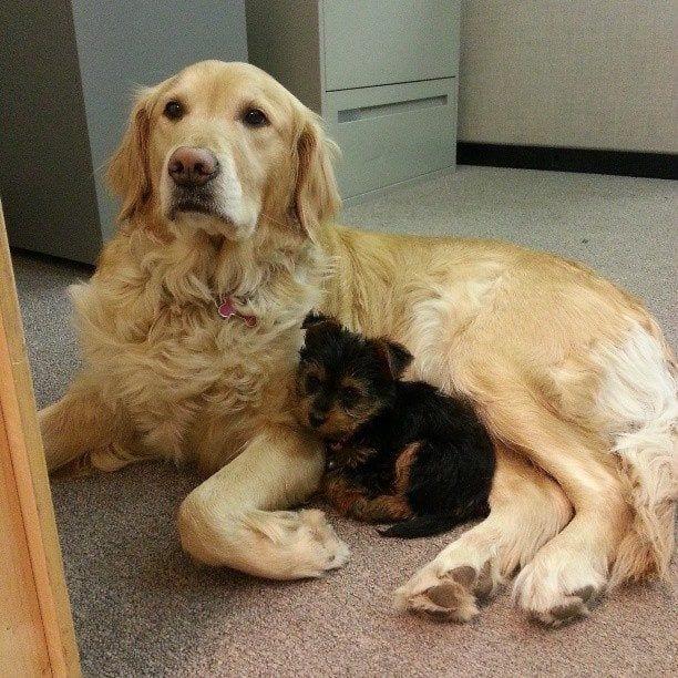 perros-en-la-oficina9