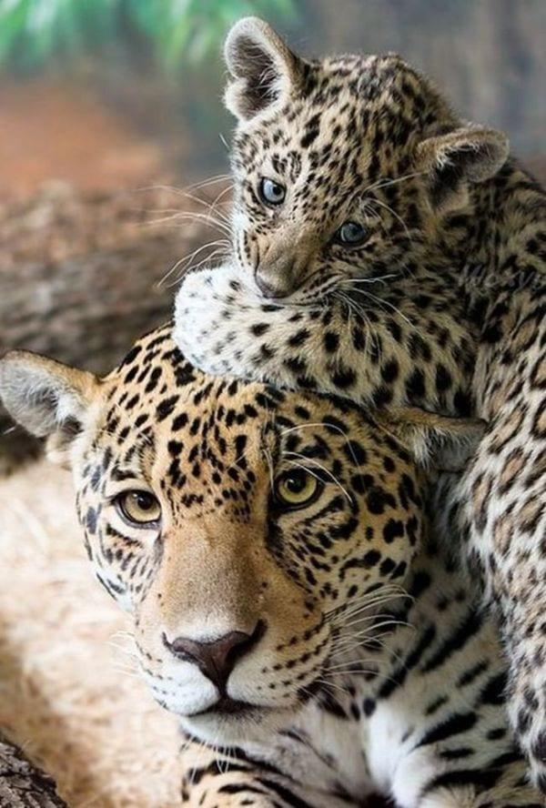 amor-paternal-animales-13