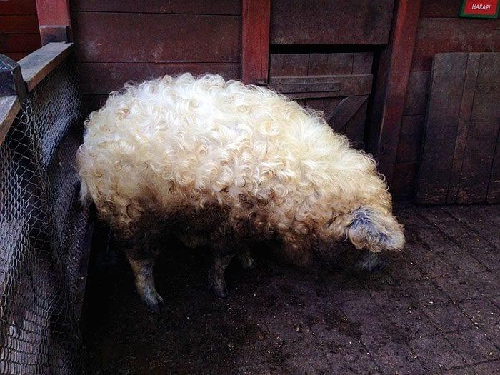 cerdo-oveja1