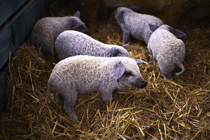 cerdo-oveja3