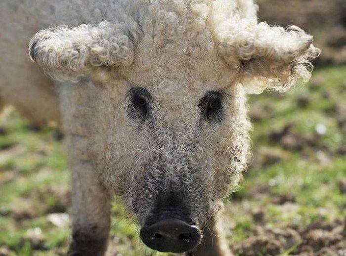 cerdo-oveja4