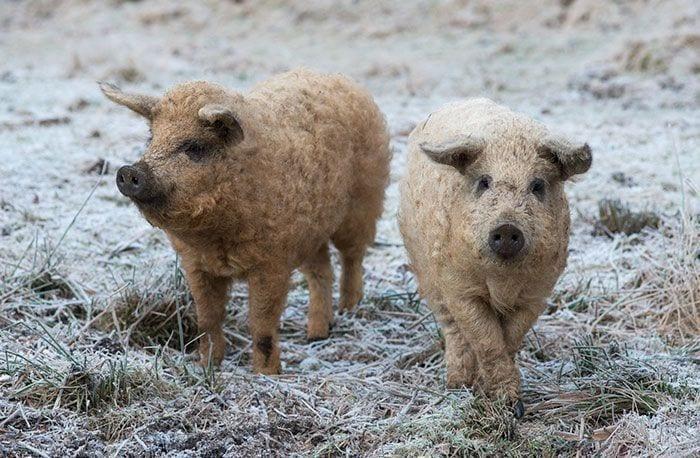 cerdo-oveja5
