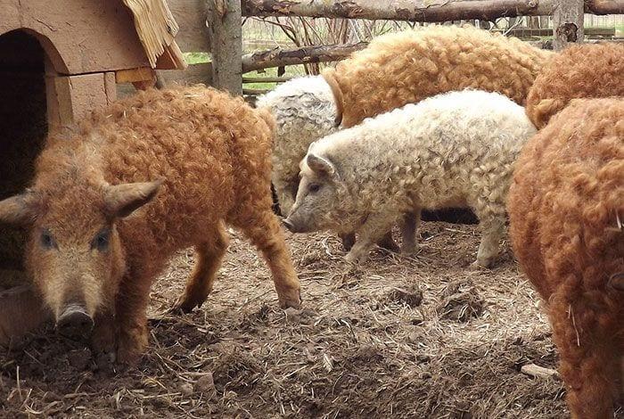 cerdo-oveja6