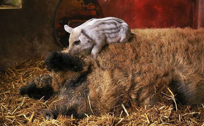 cerdo-oveja7