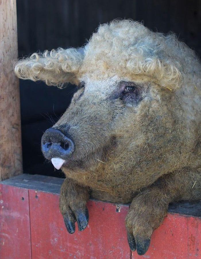 cerdo-oveja8