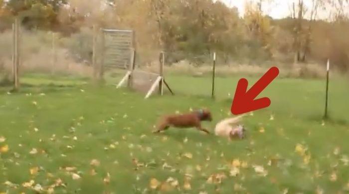 perros pelea