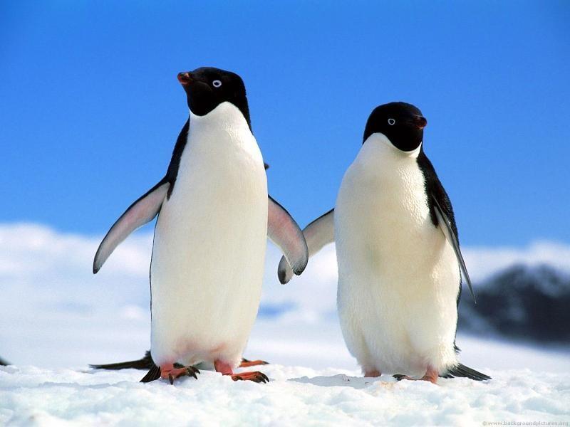 pinguino-rubio-01