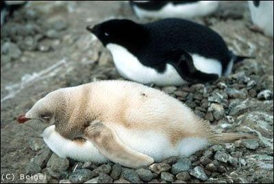 pinguino-rubio-03