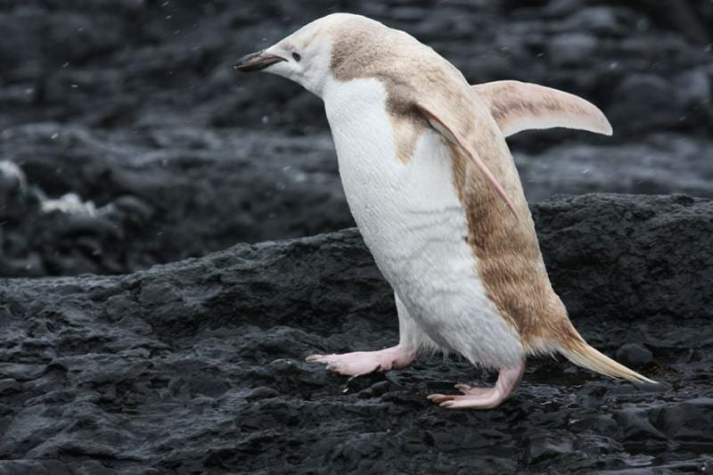 pinguino-rubio-05