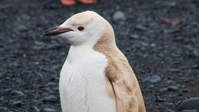 pinguino rubio 06