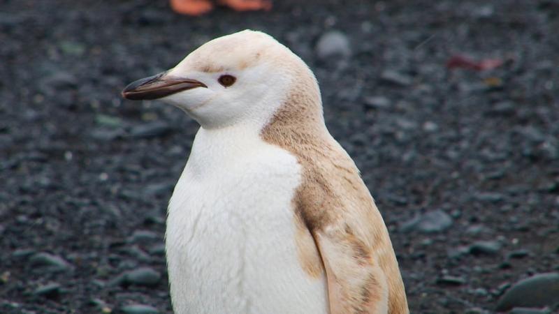 pinguino-rubio-06