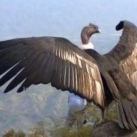 condor sayani
