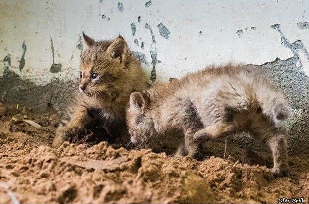 gatos-selva-13