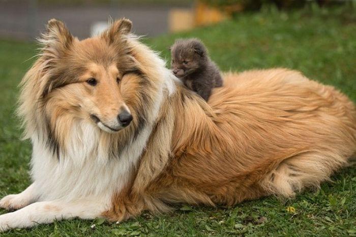 perro adopta zorro 04