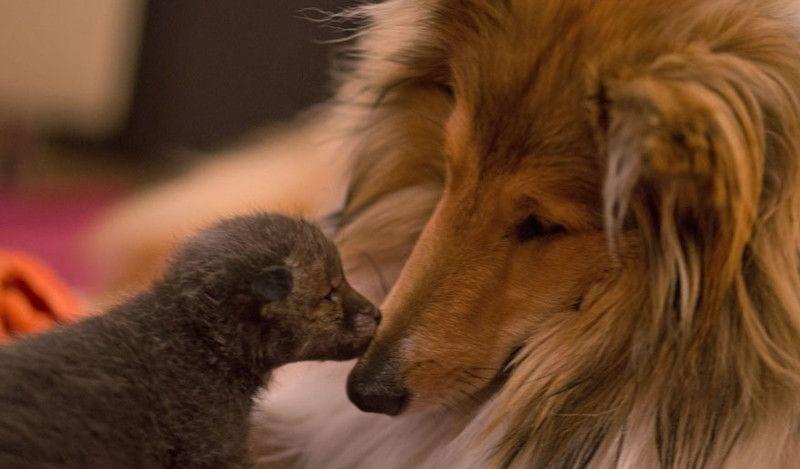 perro-adopta-zorro-12
