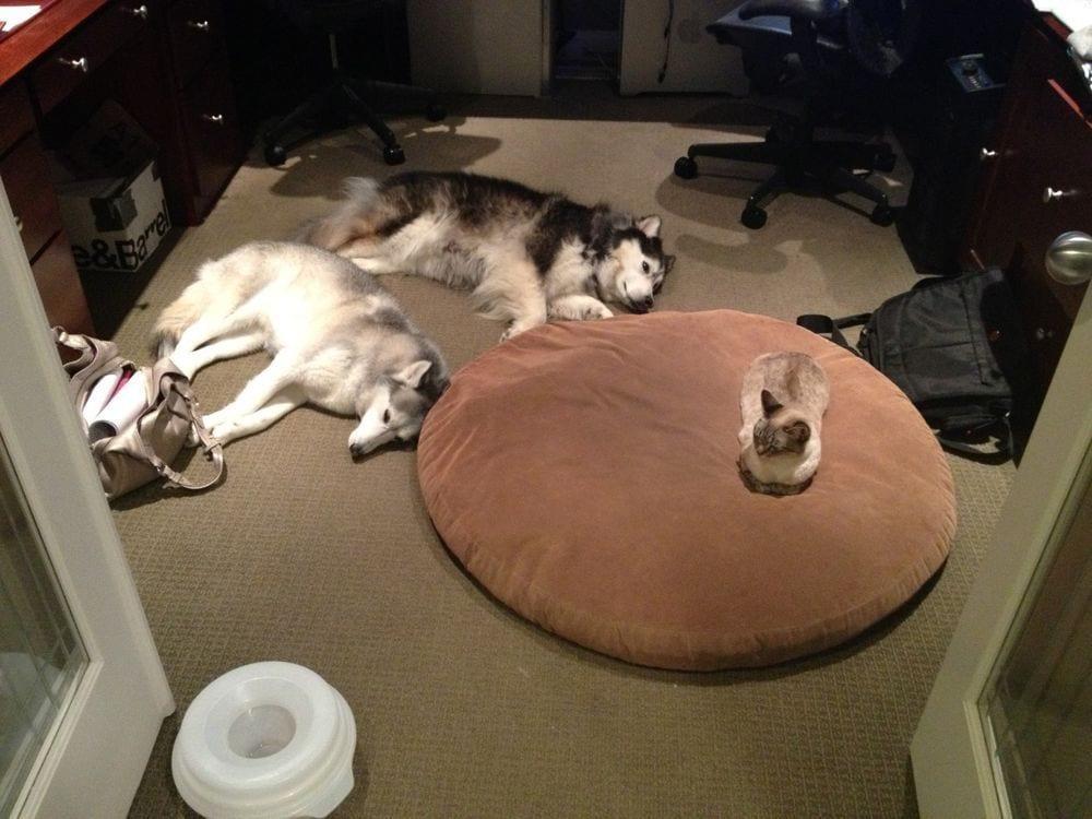 perro-cama-robada-gatos-04