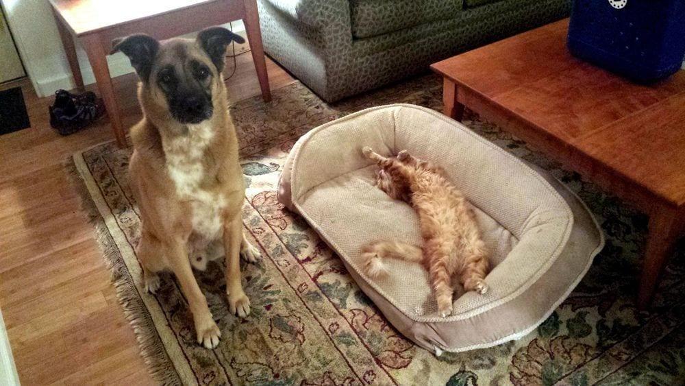 perro-cama-robada-gatos-09