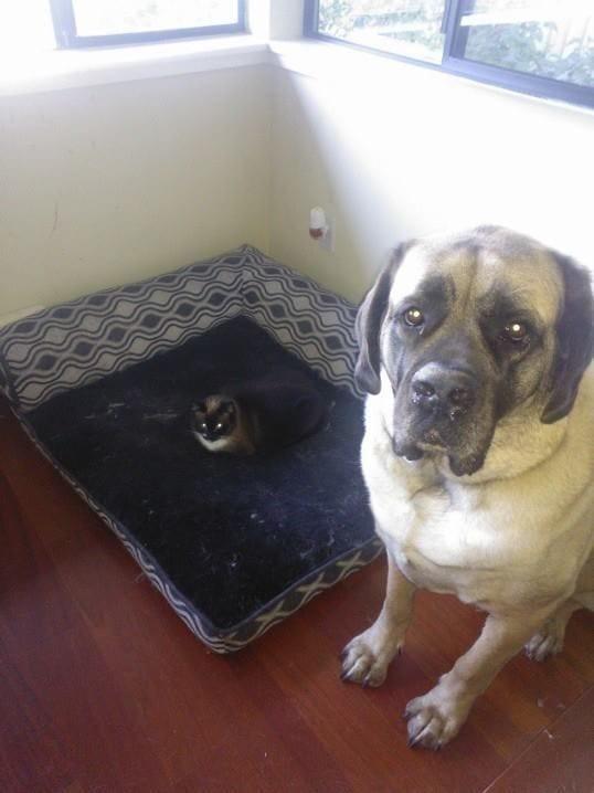 perro-cama-robada-gatos-12