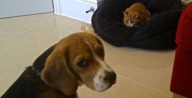 perro cama robada gatos 13