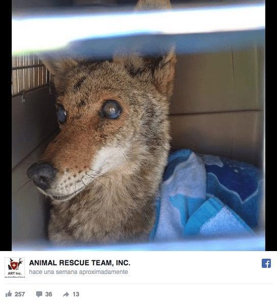 rescate-lobo4