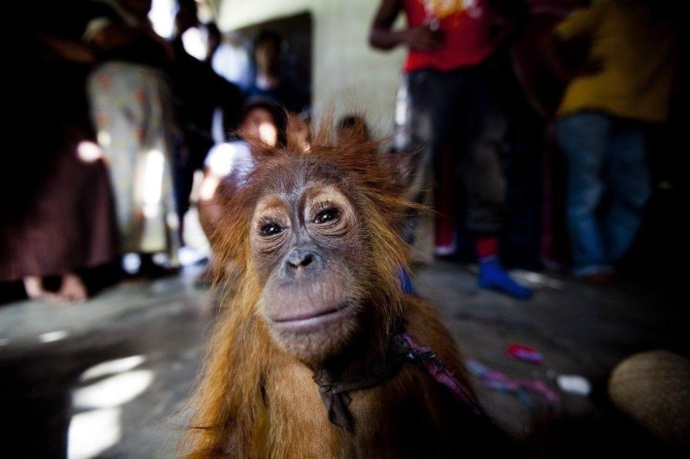 rescate-orangutan-01