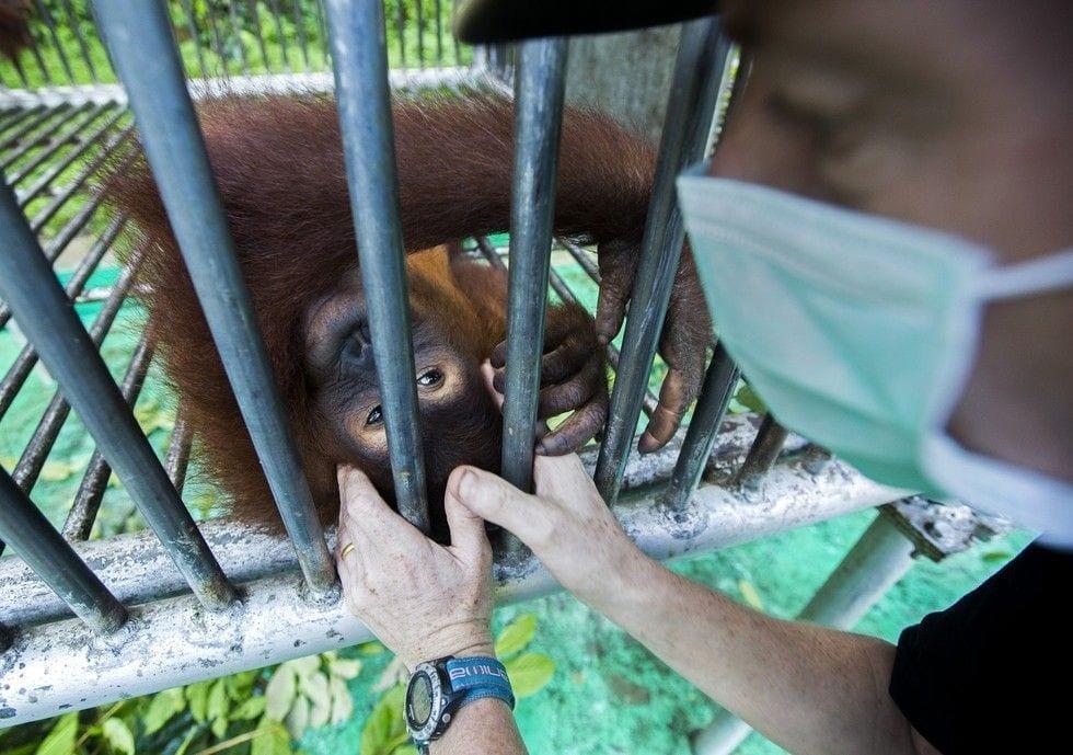 rescate-orangutan-04