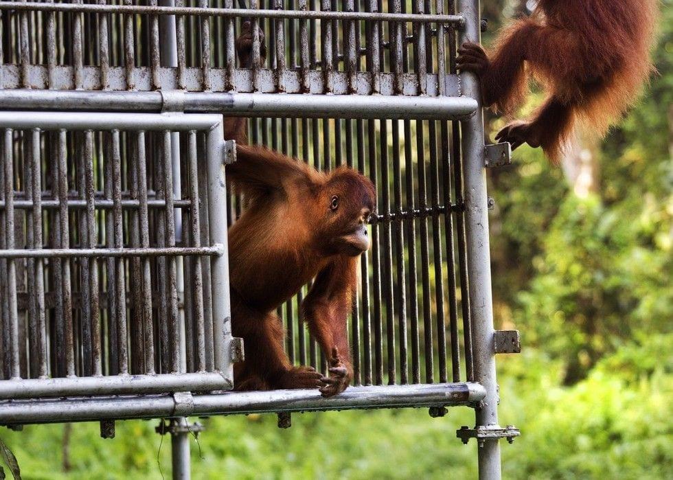 rescate orangutan 05