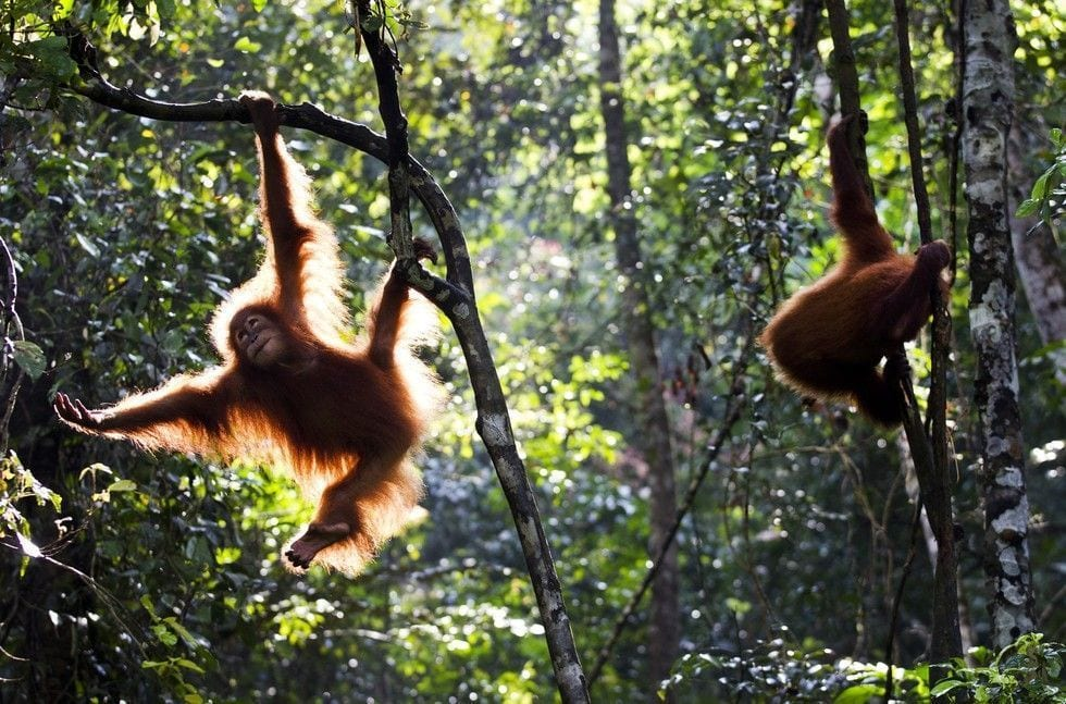 rescate-orangutan-06