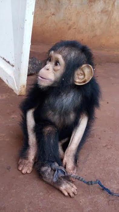 chimpance rescatado en la selva 1