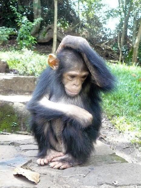chimpance rescatado en la selva 2